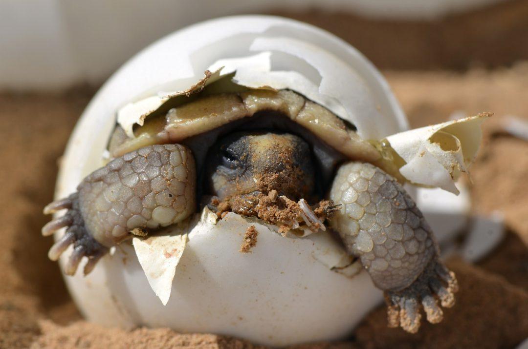 naissance tortue